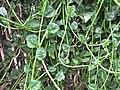 Starr-090806-3819-Basella alba-vining habit-Wailuku-Maui (24675856360).jpg