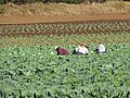 Starr-091023-8508-Brassica oleracea var capitata-field of crops with workers-Kula-Maui (24359899163).jpg