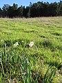 Starr-091209-0385-Narcissus tazetta-flowering habit-Polipoli-Maui (24361289654).jpg