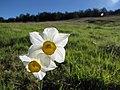 Starr-091209-0386-Narcissus tazetta-flowers-Polipoli-Maui (24696396530).jpg