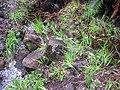 Starr-100412-4598-Freesia sp-habit in stream-Waikamoi-Maui (25029102925).jpg
