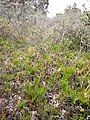 Starr-100412-4606-Lycopodium venustulum var venustulum-habit in boggy area-Waikamoi-Maui (25029137195).jpg