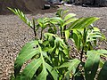 Starr-110215-1414-Artocarpus altilis-leaves-KiHana Nursery Kihei-Maui (24982245381).jpg