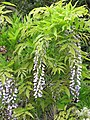 Starr-110331-4724-Wisteria floribunda-flowering habit-Shibuya Farm Kula-Maui (24455299443).jpg