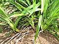 Starr-110411-4955-Dianella sandwicensis-habit form sandwicensis-Hawea Pl Olinda-Maui (25056184226).jpg