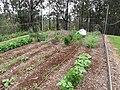 Starr-120415-4644-Cicer arietinum-habit with Forest in veggie garden-Hawea Pl Olinda-Maui (24843763020).jpg