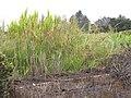 Starr-120620-7488-Cenchrus purpureus-local napier grass biofuel trial-Kula Agriculture Station-Maui (25119427786).jpg