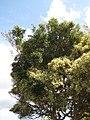 Starr-130320-3431-Ficus benjamina-variegated habit reverting back to non variegated-Sea Cliff Kilauea-Kauai (25182879316).jpg