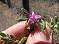 Starr-130618-5209-Sesuvium verrucosum-flower-Kealia Pond NWR-Maui (25094393992).jpg