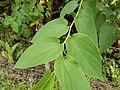Starr-140222-0389-Trema orientalis-leaves-Hana Hwy-Maui (25147451701).jpg