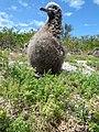 Starr-150401-0266-Lepidium virginicum-Laysan Albatross chick-West Beach Sand Island-Midway Atoll (24976955880).jpg