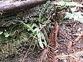 Starr-170225-7052-Asplenium trichomanes subsp densum-habit with A adiantum nigrum-Lower Waiohuli Trail Polipoli-Maui (33254124161).jpg