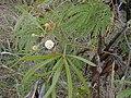 Starr 010206-0256 Leucaena leucocephala.jpg