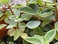 Starr 010704-0008 Peperomia blanda.jpg