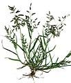 Starr 020124-8001 Eragrostis cilianensis.jpg