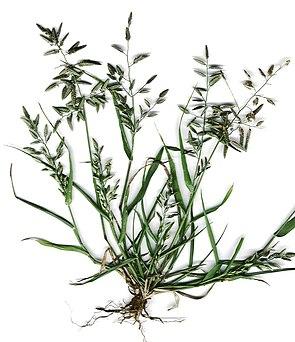 Großes Liebesgras (Eragrostis cilianensis)