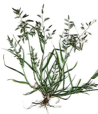 Eragrostideae - Eragrostis cilianensis