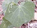 Starr 020620-0089 Coccinia grandis.jpg