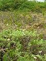 Starr 050519-1818 Tetramolopium rockii.jpg