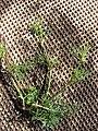 Starr 070215-4486 Ciclospermum leptophyllum.jpg
