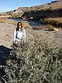 Starr 071224-0556 Phragmites australis.jpg