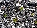 Starr 080602-5393 Oenothera laciniata.jpg