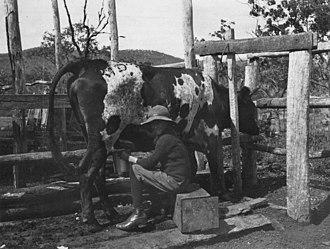 Raglan, Queensland - Milking the cow at Ambrose's farm, Raglan, 1912