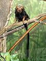 Stavenn Leontopithecus chrysomelas 01.jpg