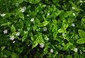 Stellaria nemorum.JPG
