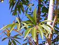 Sterculia murex, ou blare, Jan Celliers Park.jpg