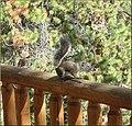Steve the Squirrel, Grand Lake, CO 8-28-12 (8071495582).jpg