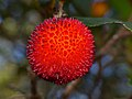 Strawberry Tree (Arbutus unedo) fruit (15880687236).jpg
