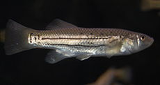 Striped killifish, female.jpg