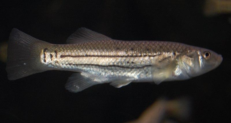 """Striped Killifish"""" width="""