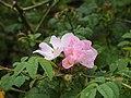 Struik wilde rozen. NP Schiermonnikoog.jpg