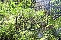 Styphnolobium japonicum-2.jpg