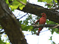Summer Tanager (7238721312).jpg