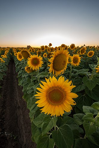 Merritt, California - Sunflowers near Merritt