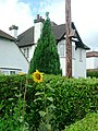 Sunflowers - Gerrards Cross - geograph.org.uk - 857209.jpg
