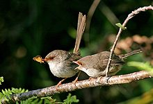 on the left, a small brown bird with orange eye-ring and a long tail holding a moth, while at its right another similar bird has an open mouth begging for food