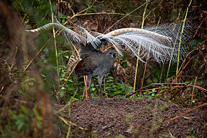 Lyrebird - Superb lyrebird in courtship display