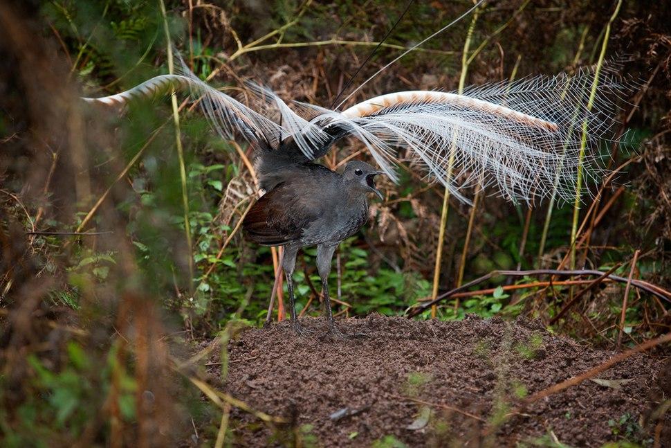 Superb Lyrebird mound dance
