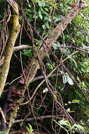 Ripogonum - Ripogonum scandens in New Zealand