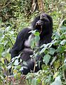 Susa group, mountain gorillas - Flickr - Dave Proffer (13).jpg