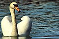 Swan - Stanborough Lakes (17583035980).jpg