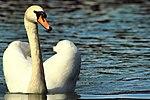 Swan - Stanborough Lakes (17583035980).jpg