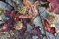 Sweetgum seeds shed from gumballs onto leaves rock.jpg
