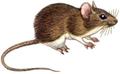 Sylvaemus sylvaticus (white background).png