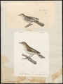 Sylvia bonellii - 1700-1880 - Print - Iconographia Zoologica - Special Collections University of Amsterdam - UBA01 IZ16200189.tif