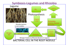 nitrogen fixing bacteria and legumes relationship quizzes
